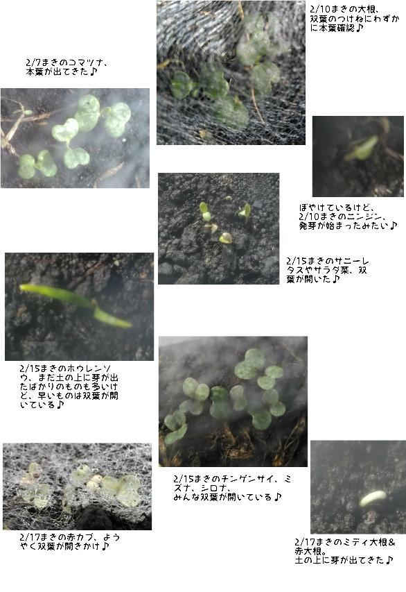 春野菜、みんな芽が出てきた。