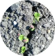 20180324コマツナの発芽