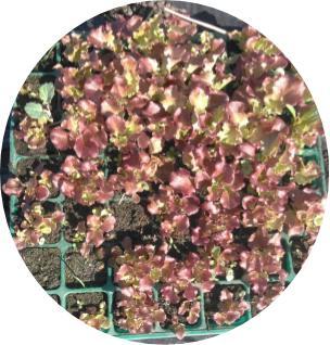 温床育苗のサニーレタス植え替え・・・♪