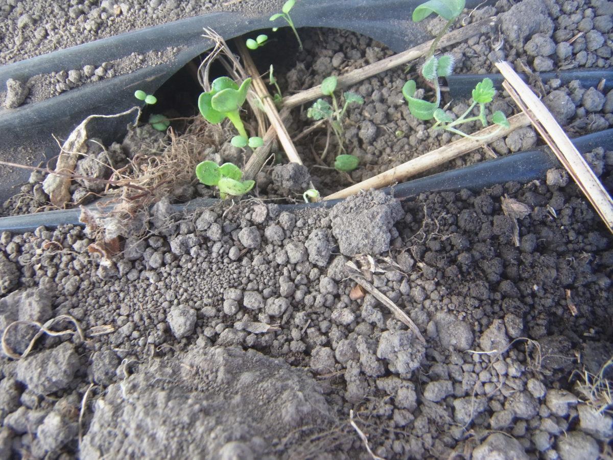 三重保温、12月まきのコマツナ、大根、サニーレタスが発芽